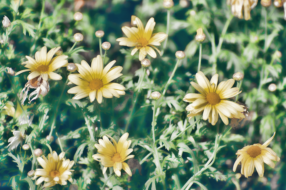yellow flowers digital painting