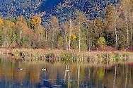 Fall foliage and Canada Geese (Branta canadensis) at Cheam Lake Wetlands Regional Park in Popkum, British Columbia, Canada.