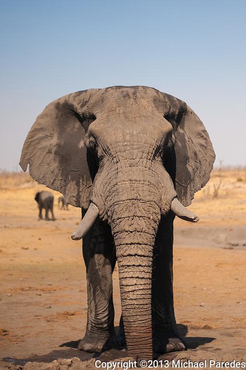 A large bull elephant in the wild, Zimbabwe