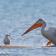 American white pelican. Bear Lake Utah/Idaho 2014