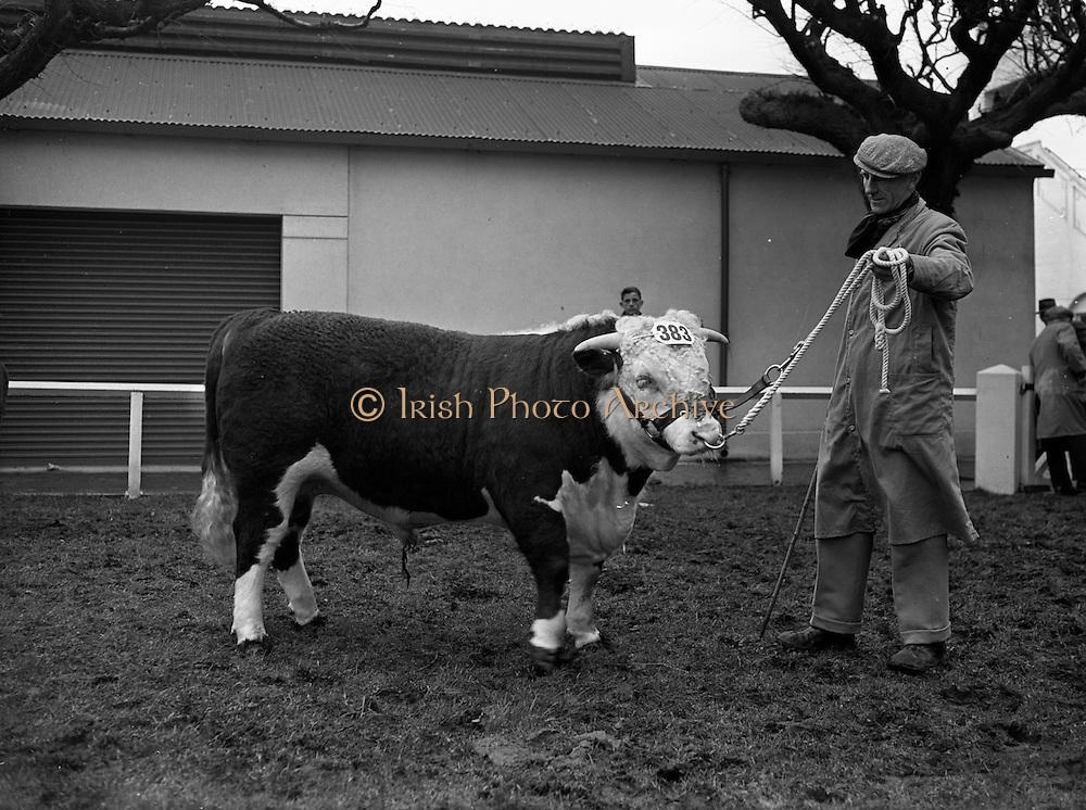 05/02/1957<br /> 02/05/1957<br /> 05 February 1957<br /> R.D.S. Bull show first day, in Ballsbridge, Dublin.  Bull on display at the show.