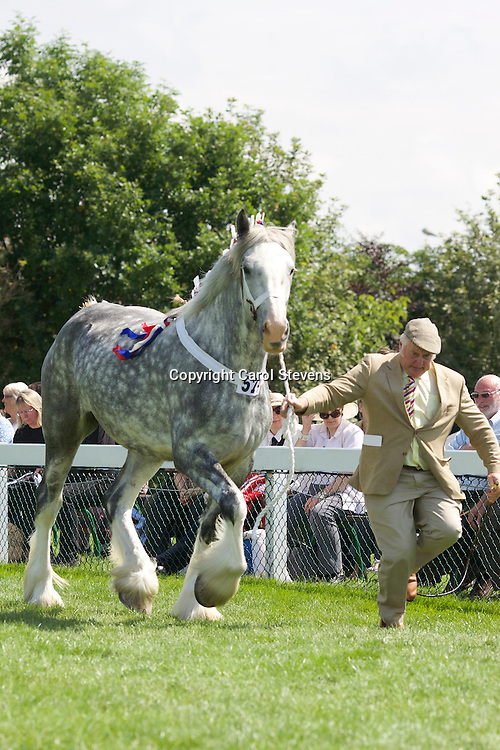Mr F W O Richardson &amp; Sons' grey mare  Bewholme Britannia<br /> 4 years old<br /> Sire  Ithersay Black Knight<br /> 2nd Barren Mare Class