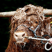 EDINBURGH, Scotland - June 21st :The Royal Highland Show, Scotland's annual farming and countryside showcase, organised by the Royal Highland and Agricultural Society of Scotland.  Allt Ruadh of Crannich the Highland bull from Peebles gets a wash from owner David Cuthbertson. (Photo by Robert Perry/Getty Images).