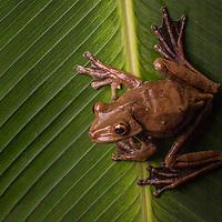 Amazon Gladiator Frog, Hypsiboas boans, in Cocobolo Nature Reserve, Panama.