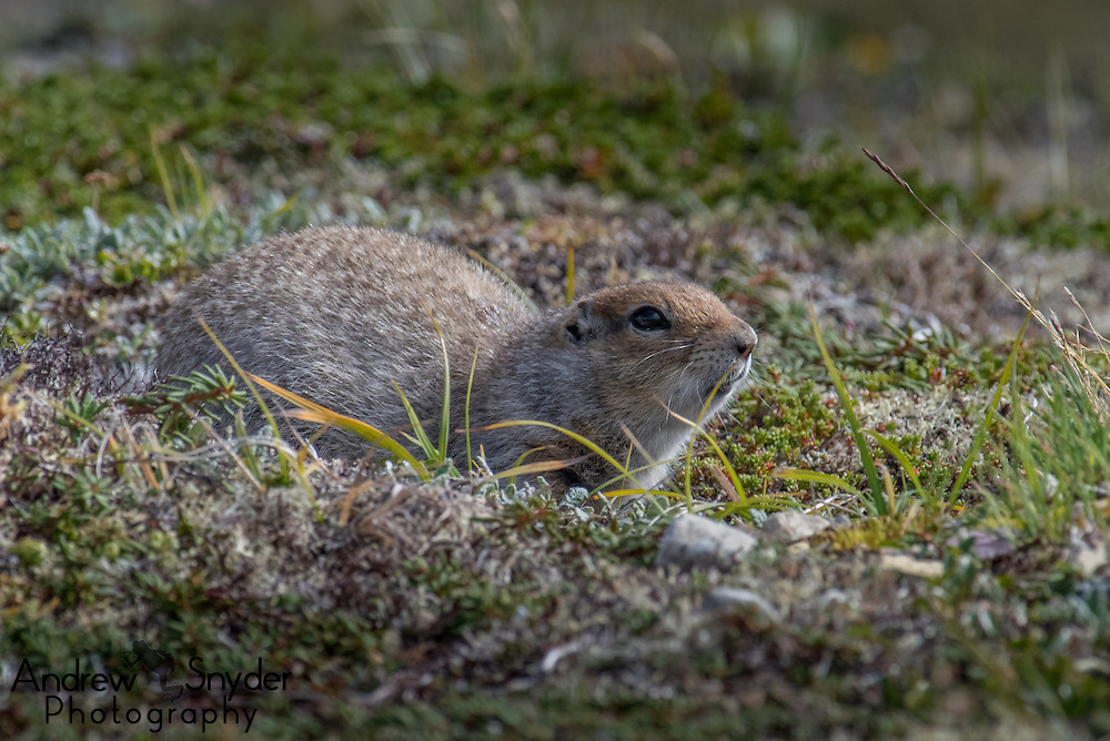 An arctic ground squirrel (Spermophilus parryii) observes its surroundings - Katmai, Alaska