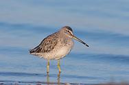 Short-billed Dowitcher - Limnodromus griseus - Adult winter plumage