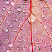 Raindrops on a pink autumn leaf, macro.