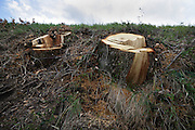 two stumps of a fresh cut down trees