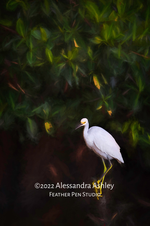 Snowy egret (Egretta thula) perched on mangrove branch above black water between fishing stops.  Oil glaze effect over original photograph. Photographed at Ding Darling National Wildlife Refuge, Sanibel Island, FL.