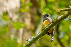 A female violaceous trogon in Costa Rica's Carara National Park