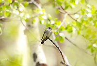 An adult Western Wood Pewee perched on a dead branch of an Aspen tree and flies branch to branch singing to its partner.