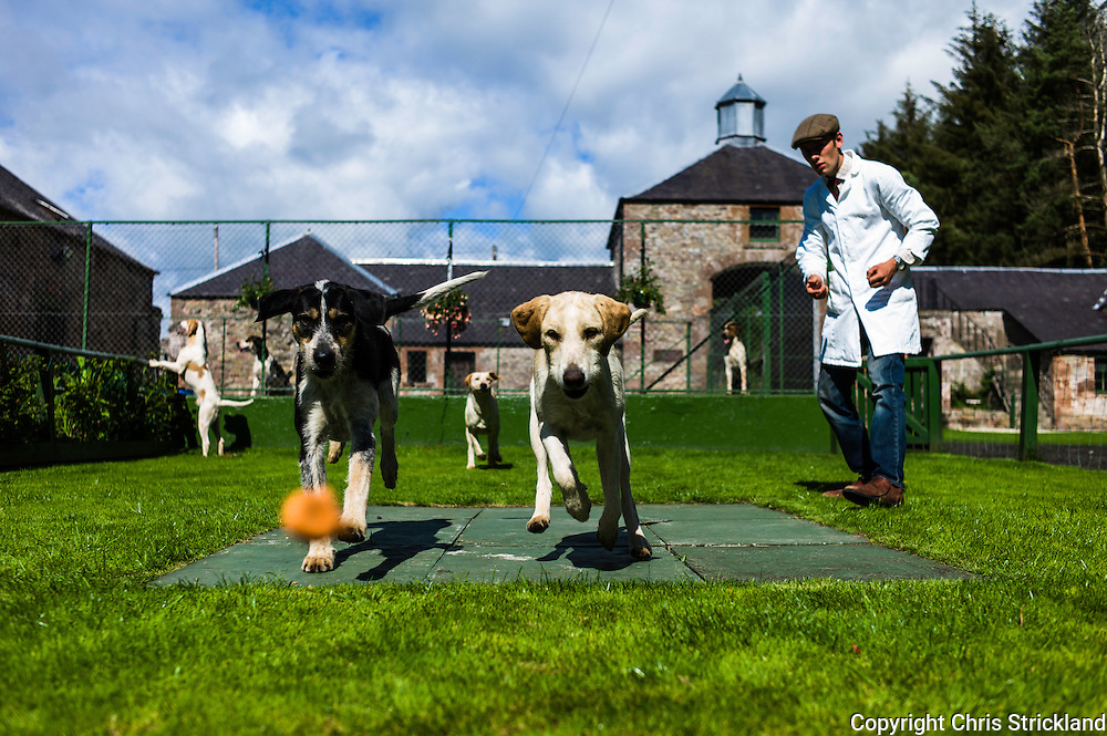 Abbotrule, Bonchester Bridge, Hawick, Scotland, UK. 19th July 2015. Foxhounds Marco (left) & Madam of the Jedforest Hunt chase after a dog biscuit while practising in the show ring with huntsman Johnny Richardson.