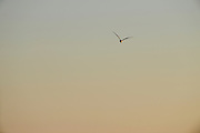 UK, January 23 2017:  A seagull flies towards Budleigh Salterton. Copyright 2017 Peter Horrell.