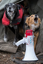 "© Licensed to London News Pictures . 17/03/2014 . Barton Moss , Salford , UK . Dogs at the protest camp bark next to a megaphone with "" Frack Off "" marked on it . Happy Mondays dancer , Bez ( Mark Berry ) , joins protesters at the Barton Moss anti-fracking protest site in Salford today (Monday 17th March 2014) . Bez has said he will stand for MP in the constituency of Salford and Eccles in 2015 . Photo credit : Joel Goodman/LNP"