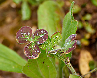 Clover leaf with rain droplets. Backyard spring nature in New Jersey. Image taken with a Nikon N1 V3 camera and 70-300 mm VR lens (ISO 160, 224 mm, f/5.6, 1/100 sec).