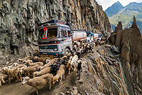 Sheep and goats being herded over the Zojila Pass as a traffic jam idles trucks because of a landslide; Kashmir, Jammu and Kashmir State; India.