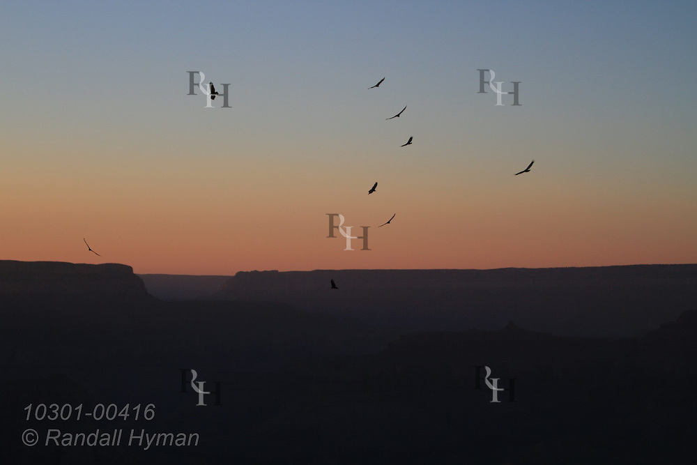 Turkey vultures circle over the South Rim at sunset at Mohave Point in Grand Canyon National Park, Arizona.