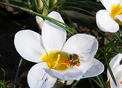 A bee gathers pollen from a crocus in Victoria Tower Gardens, Westminster. The capital is experiencing sunny spells and warm temperatures of 15 degrees, London, UK,  March 5, 2013. Photo by i-Images.