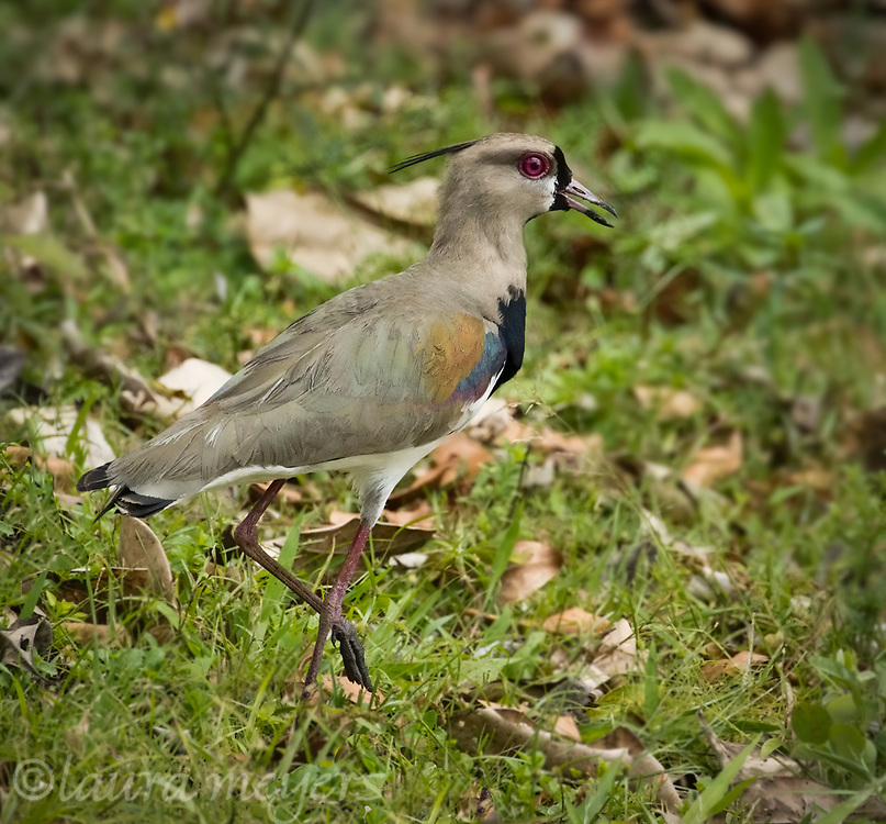 Southern Lapwing on ground with one foot up photographed in Costa Rica.