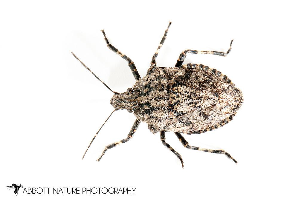 Brochymena sp. (Rough Stinkbug)<br /> TEXAS: Travis Co.<br /> Brackenridge Field Laboratory; Austin<br /> 6-April-2011<br /> J.C. Abbott