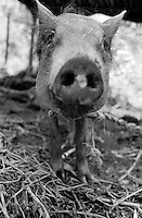 Portrait of pig, mexico 1993