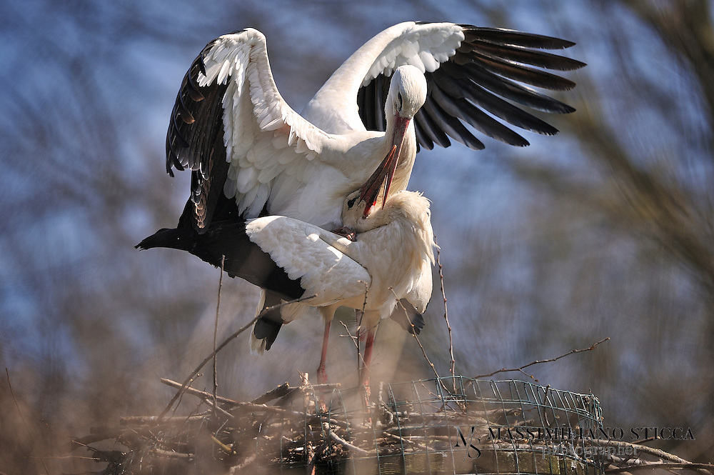 The White Stork (Ciconia ciconia) is a large bird in the stork family Ciconiidae. Its plumage is mainly white, with black on its wings. Adults have long red legs and long pointed red beaks, and measure on average 100&acirc;??115 cm (39&acirc;??45 in) from beak tip to end of tail, with a 155&acirc;??215 cm (61&acirc;??85 in) wingspan. The two subspecies, which differ slightly in size, breed in Europe (north to Finland), northwestern Africa, southwestern Asia (east to southern Kazakhstan), and southern Africa. The White Stork is a long-distance migrant, wintering in Africa from tropical Sub-Saharan Africa to as far south as South Africa, or on the Indian subcontinent. When migrating between Europe and Africa, it avoids crossing the Mediterranean Sea and detours via the Levant in the east or the Strait of Gibraltar in the west, because the air thermals on which it depends do not form over water.<br /> A carnivore, the White Stork eats a wide range of animal prey, including insects, fish, amphibians, reptiles, small mammals, and small birds. It takes most of its food from the ground, among low vegetation, and from shallow water. It is a monogamous breeder, but does not pair for life. Both members of the pair build a large stick nest, which may be used for several years. Each year the female can lay one clutch of usually four eggs, which hatch asynchronously 33&acirc;??34 days after being laid. Both parents take turns incubating the eggs and both feed the young. The young leave the nest 58&acirc;??64 days after hatching, and continue to be fed by the parents for a further 7&acirc;??20 days.