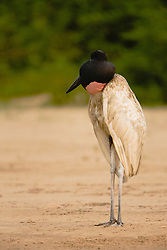 A side-view of a jabiru stork (Jabiru mycteria) with its throat sac inflated standing along the river bank of the Cuiaba River, Mato Grosso, Pantanal, Brasil,South America