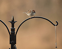 Chipping Sparrow. Image taken with a Nikon D5 camera and 80-400 mm VRII lens (ISO 720, 400 mm, f/5.6, 1/400 sec).