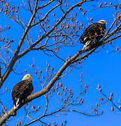 Pair of Bald Eagle -  Haliaetus leucophalus, sitting in a tree