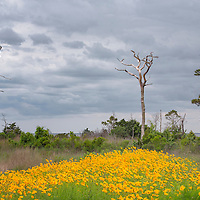 Sun flowers and old trees, near Cape Hatteras National Seashore, NC