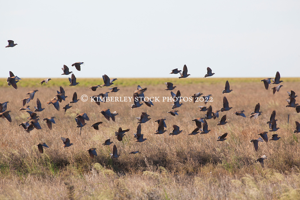 A flock of Flock Bronzewings on Mandora Station, south of Broome.  Flock Bronzewings were once common in flocks of up to 100,000, but the range has been contracted by the expansion of pastoralism and agriculture, and predation by feral animals.