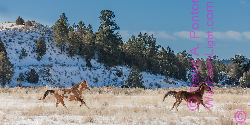 Two horses running in snow-covered field bordered by hills in rural New Mexico landscape, © 2009 David A. Ponton [Prints to 12x24 or 16x32 in. with no cropping]