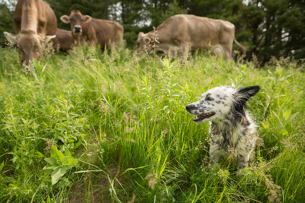 Dog in the tall grass with cows behind her