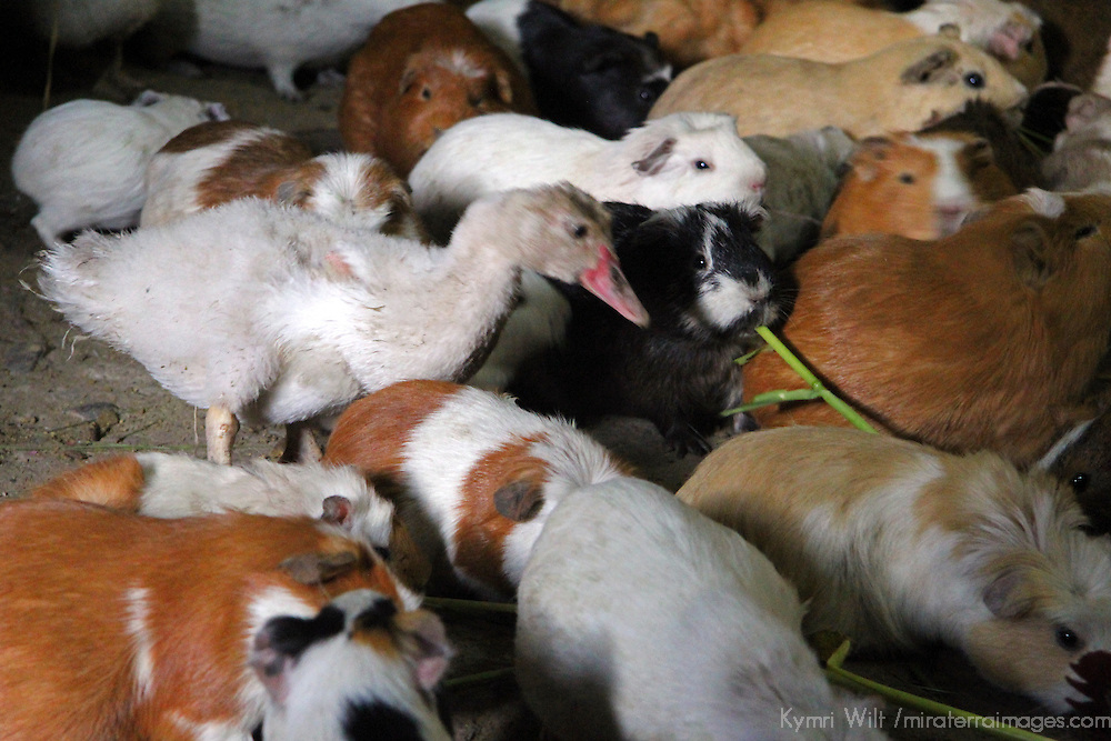South America, Peru, Ollanta. Duck and Guinea Pigs populate kitchen floors in Ollanta, Peru.