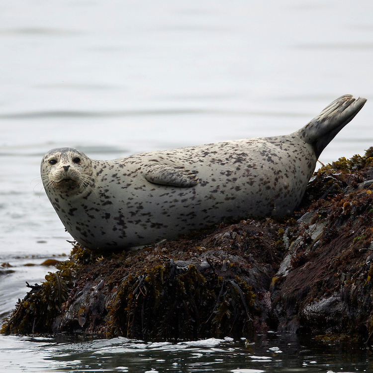 Harbor Seal, Trinidad Bay California April 2013