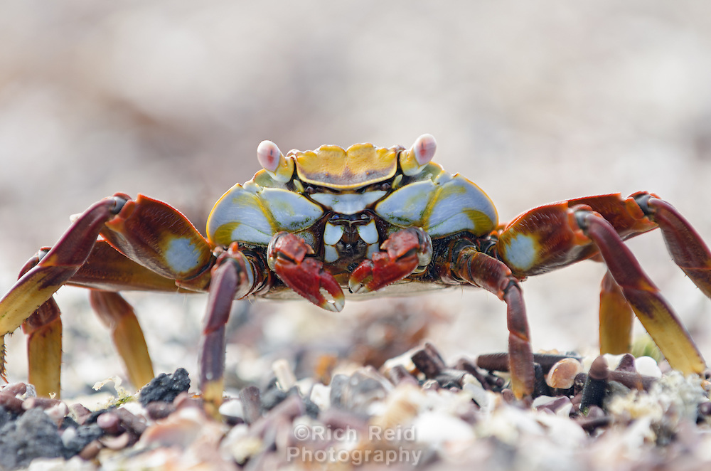 Sally Lightfoot Crab, Grapsus grapsus at Punta Espinoza on Fernandina Island in the Galapagos Islands National Park and Marine Reserve, Ecuador.