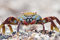 Sally Lightfoot Crab, Grapsus grapsus at Punta Espinoza on Fernandina Island in the Galapagos Islands National Park and Marine Reserve, Ecuador.
