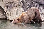 USA, Katmai National Park (AK).Brown bear (Ursus arctos) getting in the water