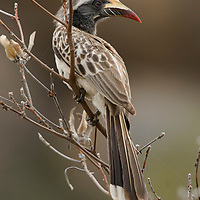 A female African Grey Hornbill (Tockus nasutus). Mpumalanga, South Africa.