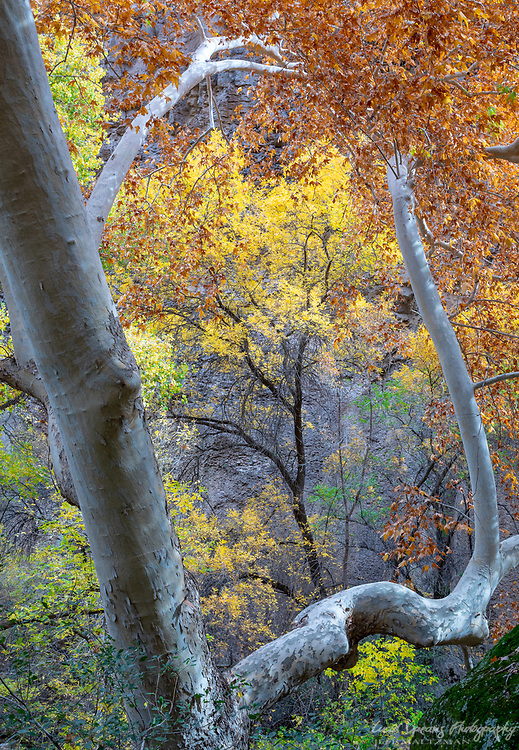 The boughs of an Arizona sycamore frame autumn color in Virgus Canyon, Arivaipa Canyon Wilderness