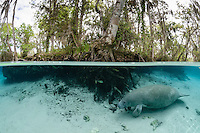 Florida manatee, Trichechus manatus latirostris, a subspecies of the West Indian manatee, endangered. A manatee swims into the warm freshwater springs on a cool cloudy day. it passes submerged tree roots with a fish, bream, Lepomis spp. amidst the roots. Horizontal orientation split image with blue water. Three Sisters Springs, Crystal River National Wildlife Refuge, Kings Bay, Crystal River, Citrus County, Florida USA.