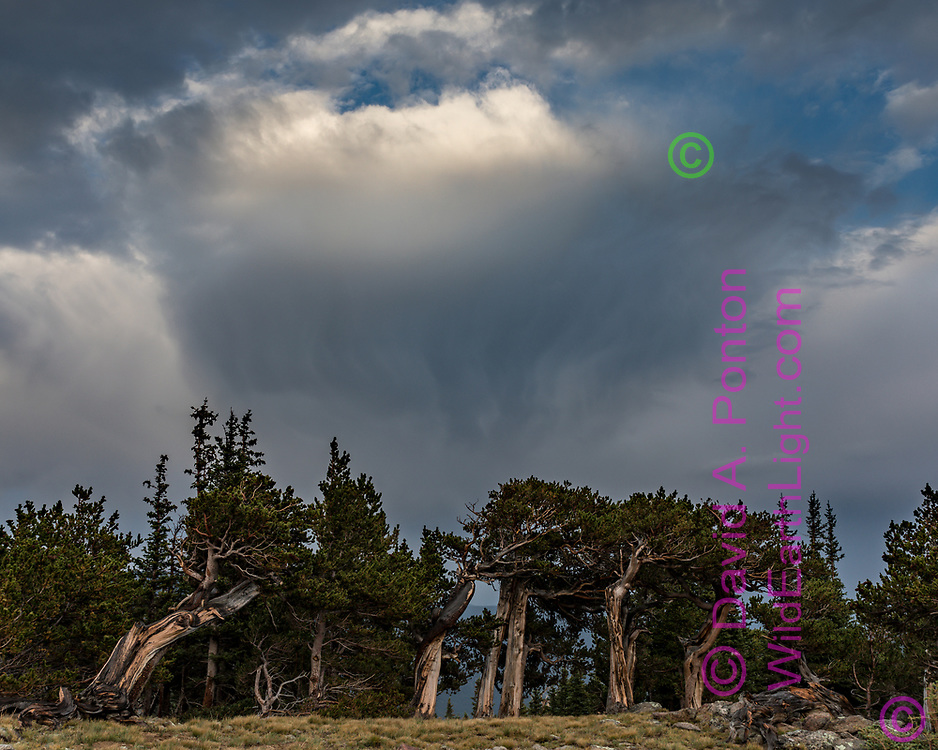 Ancient bristlecone pine forest at timberline, with rain storm, Mount Evans Wilderness, CO, © 2017 David A. Ponton [Prints to 8x10, 16x20, 20x24 or 24x30 in. with no cropping]