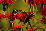 female humming bird feeding on beebaum