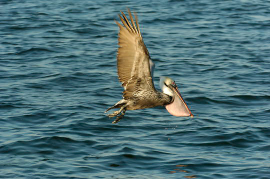 Brown Pelican (Pelecanus occidentalis) Taking off to fly from water. Near Boca Grande, Florida.