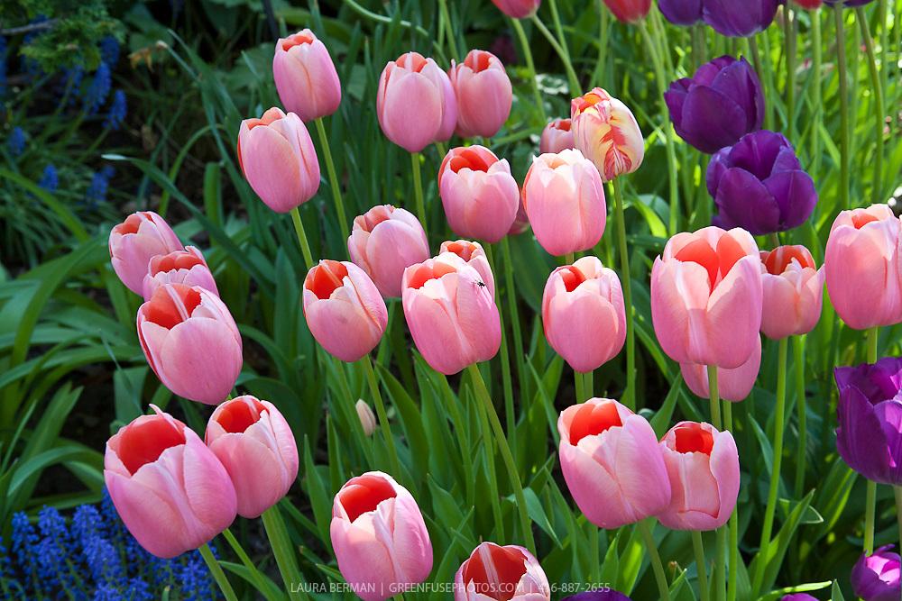 Salmon-pink tulips.