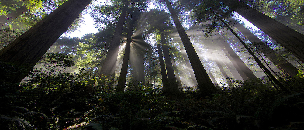Rays of sunlight filtering through the coastal redwood canopy. Del Norte State Park, California April 2013