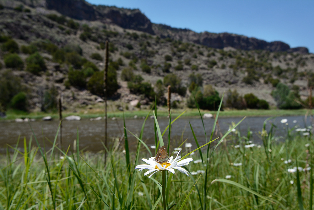 jt062917h/ a sec/jim thompson/ A small butterfly on a daisy along the Middle Box area of the Rio Grande which is part of the proposed Rio Grande del Norte Nation Monument.Thursday June. 29, 2017. (Jim Thompson/Albuquerque Journal)