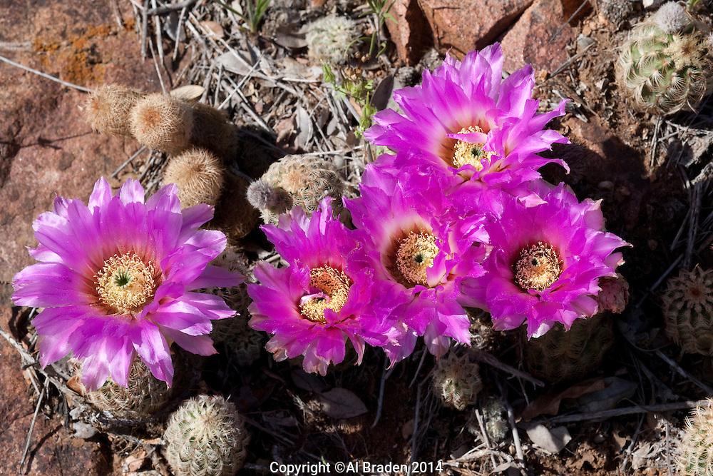 Lace Cactus, (Echinocereus reichenbachii), Llano County, Texas