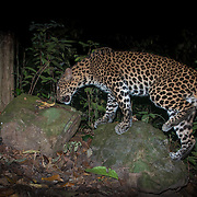 Wild Cats of Thailand