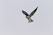 A black-winged kite hovers over an open field looking for prey, Otjiwarongo, Namibia.